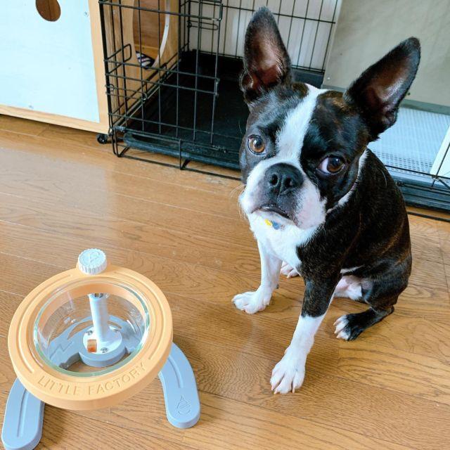 ぼくのおうちにも届いたよ🐾 . #マンマミーヤ . 来月2歳になるルークへ、少し早めのお誕生日プレゼントに🎁 . 早速動画も撮ってみました😉 . i_am_a_boston さんありがとうございました✨ . #ボストンテリア #ボステリ #鼻ぺちゃ #bostonterrier  #bostonterriersforever  #ミーヤチャレンジ #犬のいる暮らし